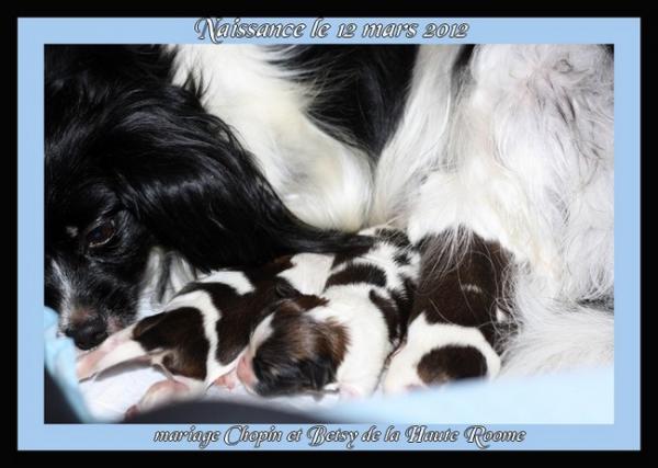 chiots de betsy né le 12 mars 2012 1