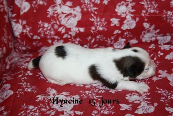 hyacine 15 jrs 1