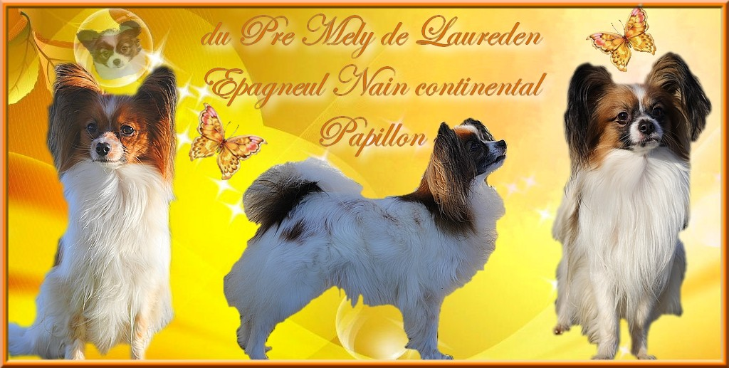 Chiens papillon et Terrier du Tibet du Pre Mely de Laureden