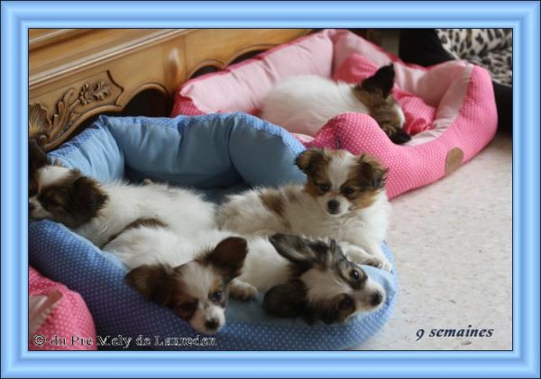 chiots-d-elody-a-9-semaines-1.jpg