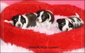 chiots-de-betsy-a-15-jours-1.jpg