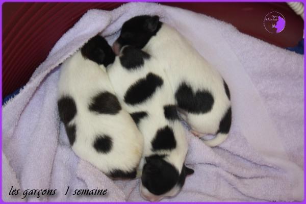 Chiots de dorssett 1 semaine 2