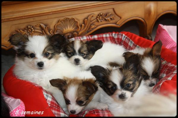 Chiots d elody 8 semaines 2