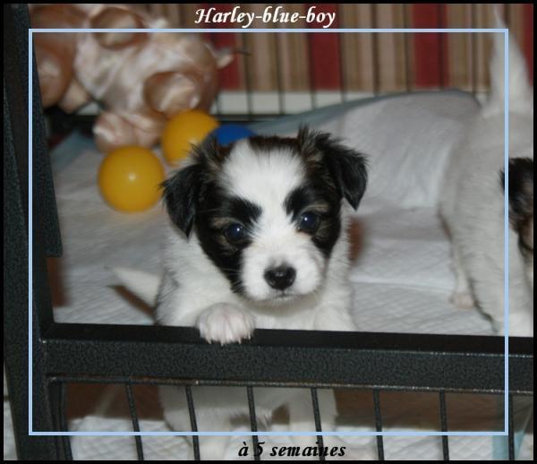 harley-blue-boy-a-5-sems-1.jpg