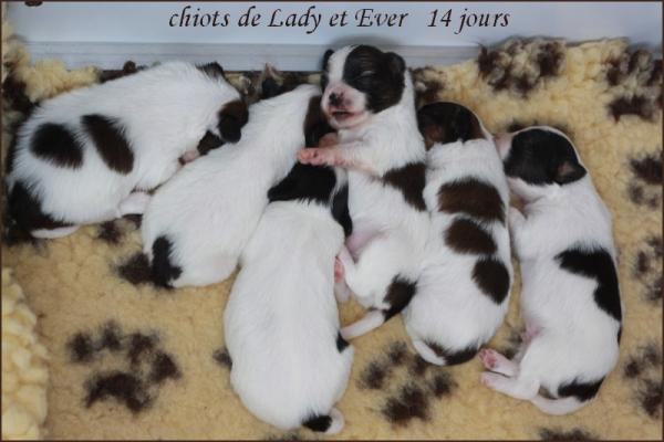 Les chiots de lady a 15 jours