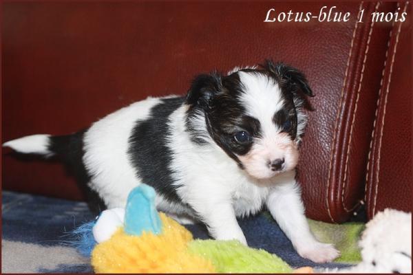Lotus blue 1 mois 3
