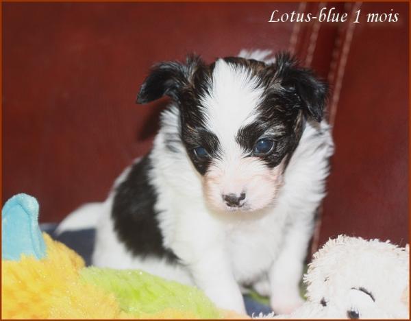 Lotus blue 1 mois 6