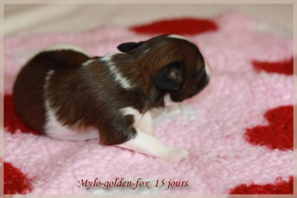 Mylo golden fox 15 jours 1
