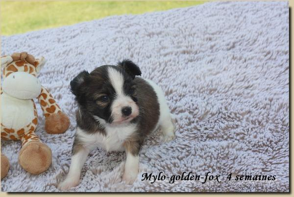 Mylo golden fox 4 sems 1