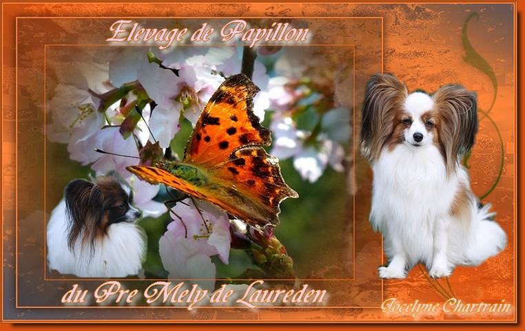 Chiens épagneul nain  papillon du Pre Mely de Laureden