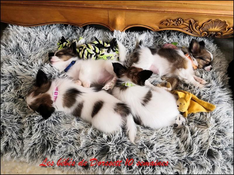 Chiots de dorssette 10 semaines